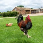 Free range chickens on the central green