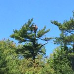 Eagles nest with mamma and 2 eaglets. Our kayaks on the shore of Thomas point state park beach