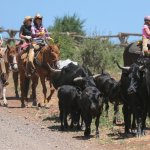 You participate in an ACTUAL Cattle Drive! Go out & find cattle them drive back to ranch!