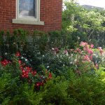 side yard with lovely roses