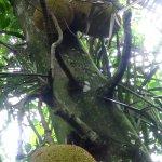 Jackfruitbaum auf dem Gelände