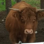 Highland cattle in a pasture next door.