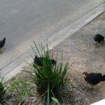 Brush Turkeys