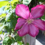 Clematis climbing the roof supposrt.