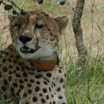 Nabiki the cheetah resting after her chase of a gazelle