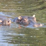 Hippos in the hippo pond