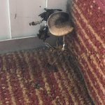 Mushroom growing in our room. Severe mold and mildew damage. Dry weather for weeks prior to visi