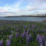 Beautiful field of lupines on top of the hill just in front of the hotel.