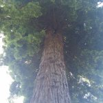 One of the wonderful redwood trees.
