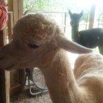 Destiny Alpaca Farm Φωτογραφία
