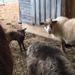 Be sure to ask if you can visit the barn to see sheep, goats, horses, and kittens.