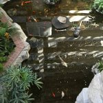 Koi and turtle pond in the atrium area