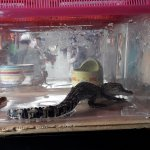 Baby crocodile on display for sale