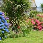 beaux hortensias bleus