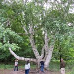 300 yr old Birch Tree