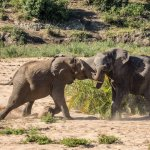 Fighting young elephant bulls