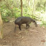 Tapir in Belize. You can get pretty close to the animals here.