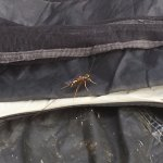 This crazy wasp that landed on our tent