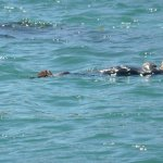 Sea otters basking in the sun