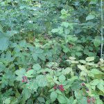 Raspberry season at Ravenwood!