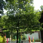 An Oak tree outside Han Wen Gong temple, replacing the orignal planted during Tang Dynastic.
