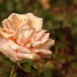old roses garden