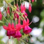 flores de la variedad