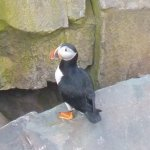 Picture 1 of a puffin at Keith's secret location