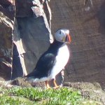 Pic 2 of a puffin at Keith's secret location