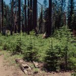 Forrest area along Little Baldy Trail in Sequoia National Park