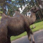 """Kamele auf der """"Straße"""""""