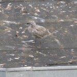 Observation privilégiée d'un nid de goélands (chambre verte).