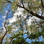 alberi giganteschi