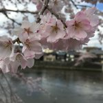 Cherry blossom's in full bloom wow!