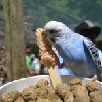 Blue Budgie having a snack