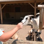 Feeding one of the friendly goats