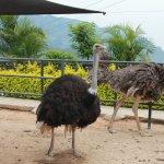 conoce de las avestruces