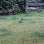 Bunny on our front lawn