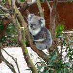 Koala at the Healesville Sanctuary