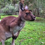 Got to pet and feed this kangaroo at the Healesville Sanctuary