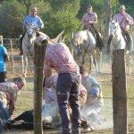 Marquage des taureaux