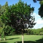 Diospyros egrettarum ebony (Tree planted by Nelson Mandela)