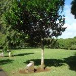 Diospyros egrettarum ebony (Tree plantee by Nelson Mandela)