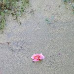 flower in the duckweed