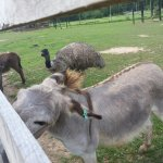 Miniature donkeys and an ostrich