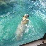 beautiful polar bear swimming