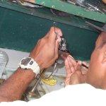 Opération délicate : insertion du nucléus dans l'huître perlière