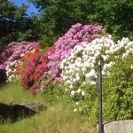 Beautiful flowering shrubs behind the big house.
