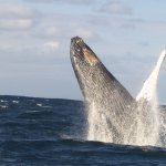 This whale and its companion breached 20-30 times in a row - an amazing memory of a lifetime