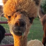 YaYa's Alpaca Farm Garden City Missouri